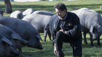 Photo of La montanera adelanta sus sacrificios, con un 10% más de cerdos de bellota procesados que en 2019 (236.782)